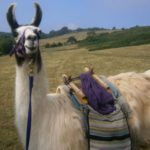 Llama Trekking and Cream Tea