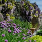A blooming border of chives at Pentillie Castle, Cornwall