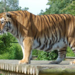 A tiget at the Big Cat Experience - tea with tigers - hertfordshire