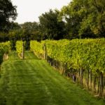 A row of vines at the Yorkshire Heart Vineyard and Brewery