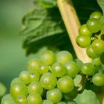 Ripening Grapes at the Yorkshire Heart Vineyard and Brewery, North Yorkshire